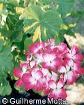 Pelargonium x domesticum
