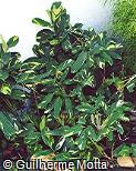 Maranta arundinacea ´Variegata´