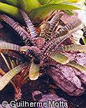 Vriesea splendens