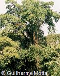 Couroupita guianensis