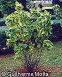 Acalypha wilkesiana ´Hoffmanii´
