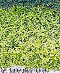 Peristrophe angustifolia
