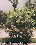 Ixora undulata