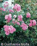 Rosa chinensis var. semperflorens