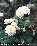 Callistephus chinensis