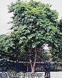 Caesalpinia echinata