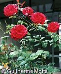 Rosa x grandiflora