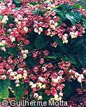 Clerodendrum x speciosum