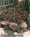 Gloxinia sylvatica