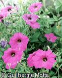 Petunia × hybrida ´Champagne´