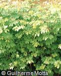 Mimosa caesalpiniifolia