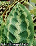 Calathea pseudoveitchiana