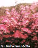 Calliandra brevipes