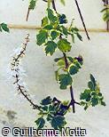 Plectranthus forsteri ´Marginatus´