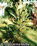 Cordyline fruticosa ´Exotica´