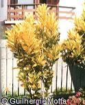 Codiaeum variegatum ´Ovalifolium´