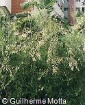 Russelia equisetiformis ´Alba´