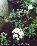 Spiraea cantoniensis