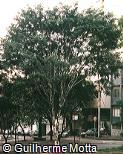 Caesalpinia leiostachya