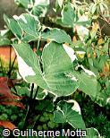 Xanthosoma sagittifolium ´Albomarginatum´