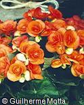 Begonia reniformis ´Carneval´