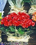 Begonia reniformis ´Kleo´