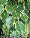Ficus benjamina ´Golden King´