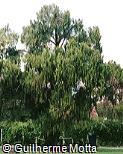 Cupressus funebris