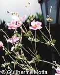 Anemone scabiosa