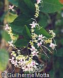 Clerodendron fragrans