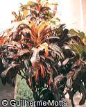 Codiaeum variegatum ´Lance-leaf´