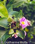 Pereskia grandifolia var. grandifolia