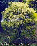 Chamaecyparis pisifera ´Filifera Aurea´