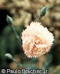 Dianthus caryophyllus ´Isabel´