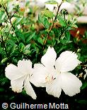 Hibiscus rosa-sinensis ´Dainty White´