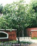 Bunchosia apiculata