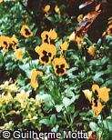 Viola x wittrockiana ´Rheingold´