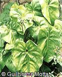 Anthurium x froebeli