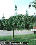 Pachira glabra