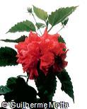 Hibiscus rosa-sinensis ´Carnation´