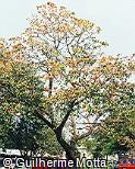Erythrina velutina