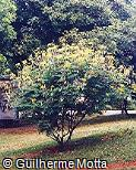 Caesalpinia pulcherrima ´Flava´
