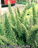 Asparagus densiflorus ´Myers´