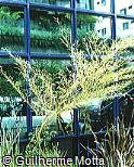 Phyllostachys edulis