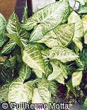 Syngonium podophyllum ´White Butterfly´