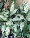 Aglaonema marantifolium ´Silver King´