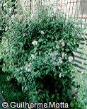 Hibiscus syriacus ´Woodbridge´