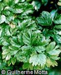 Polyscias guilfoylei var. laciniata