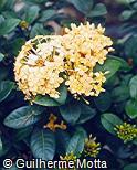 Ixora coccinea var. coccinea
