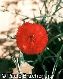 Dianthus caryophyllus ´Rony´